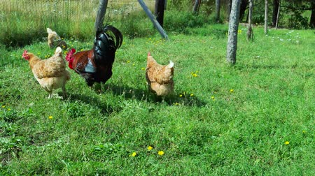 serbest : Rooster and chickens in grass