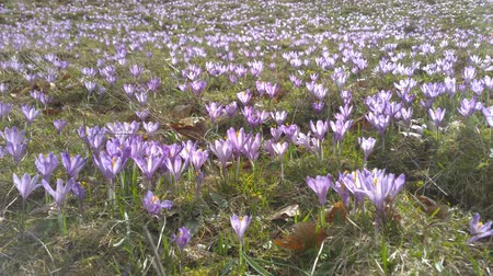 perennials : Alpine meadow covered with spring crocus flowers (Crocus vernus) during spring in Piatra Craiului mountains, Romania. Stock Footage