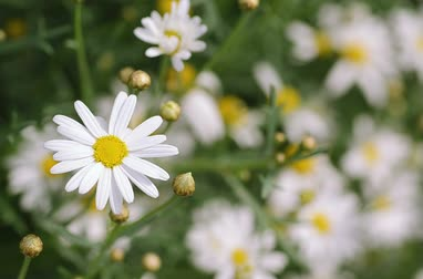 tincture : healing flowers camomile close-up swaying in the wind Stock Footage