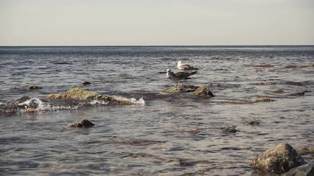 Slow motion two gulls on rocks in the water on the shore roll waves