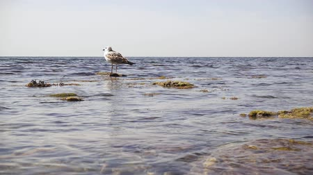 Slow motion one seagull stands on a rock in the water on the seashore and spreads its right wing Stok Video
