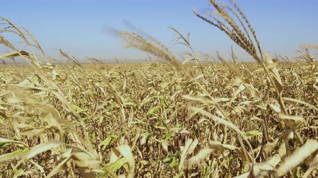 The dried stems of ripe corn sway in the wind in the field