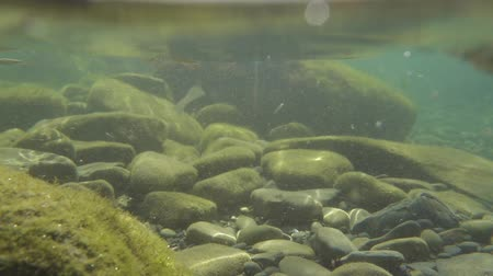 Slow motion fish in muddy water on a rocky bottom. stones in seaweed. camera under and above the water