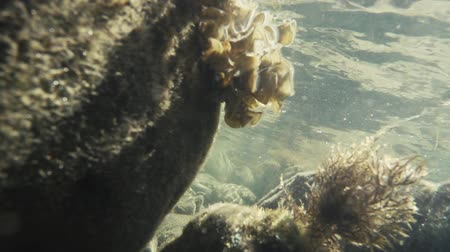 Slow mo seaweed under the water on the stones move from the waves under the rays of the sun Stok Video