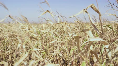 Dried stalks of ripe corn sway in the wind movement of the camera around