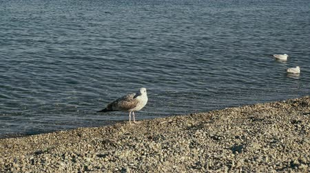 An adult gull is standing on a pebble beach and young gulls in crystal clear water swim out of the frame