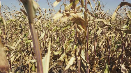Movement of the video camera up the corn stalk with one cob and rows of ripe corn on the field Stok Video