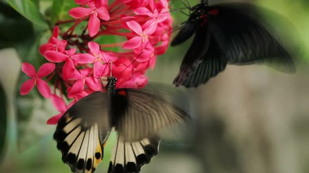 çiftleşme : Two tropical butterflies feeding on red flower