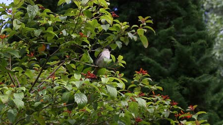 krzak : Bird eating the fruit.