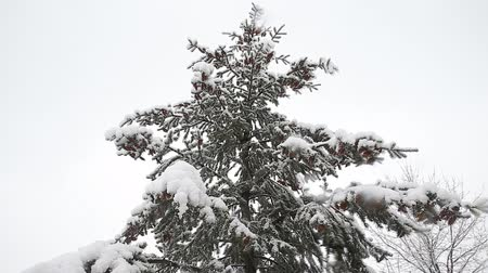 rampouch : Spruce tree with many cones in a snowstorm. Grey and stormy winter day Dostupné videozáznamy