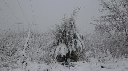 сосулька : Spruce tree with many cones in a snowstorm. Grey and stormy winter day Стоковые видеозаписи