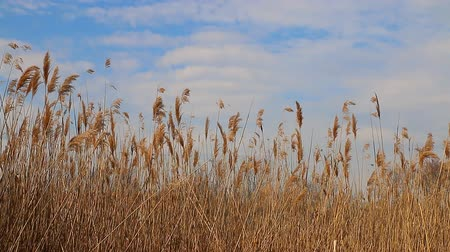 kamış : Reed tips moving in wind during spring with a blue sky