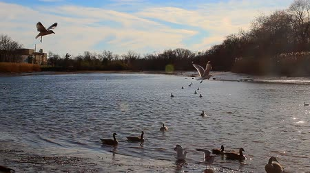 птицы : Gulls, swans, guses and other birds. Danube river