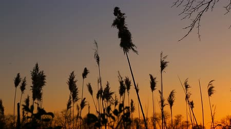 kamış : sunset sky clouds bulrush close-up of the reed in the wind against at sunset Stok Video