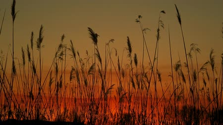 juncos : sunset sky clouds bulrush close-up of the reed in the wind against at sunset Vídeos
