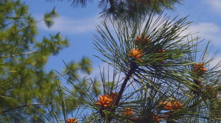 bumps : Spruce branch witch cones on sky background. Full HD. Stock Footage