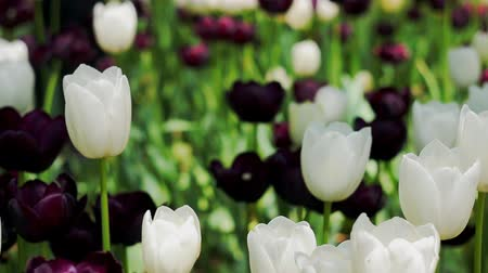laleler : Tulips flowers and nature landscape. Stok Video