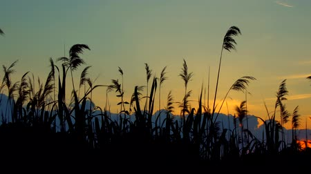 kamış : Reed against the sunset