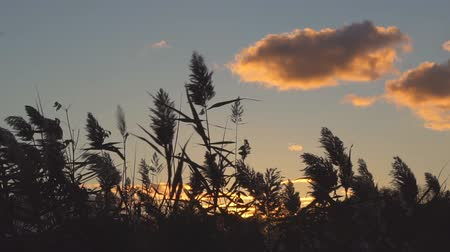 kamış : Reed at Sunset, Close Up