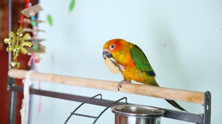 papuga : Big funny red sun conure parrot eating cookies