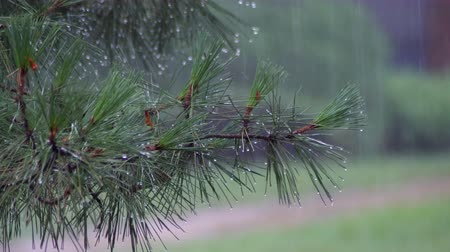 close-up, rain dripping onto the path. summer rain, a thunderstorm, a heavy in a pine forest, park. water in large drops