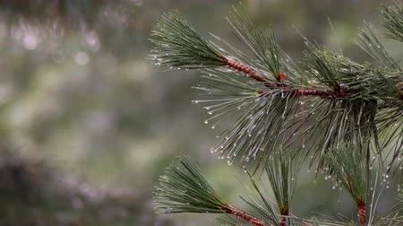 çöküş : Hail Falling Pine Tree Branches And Water Flowing Pine branch with raindrops 4k Stok Video