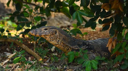 VARANUS waiting for prey in the bush