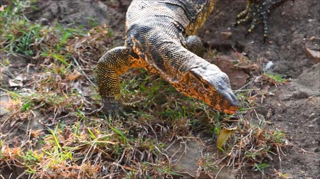 VARANUS walked down from the rocks in the garden Vídeos