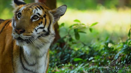 savana : Wildlife in nature The tiger stands in the forest in India Stock Footage