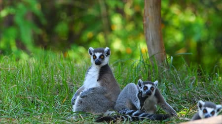 хищник : Wildlife The Lemur family lives in nature Стоковые видеозаписи