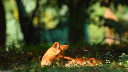 amazonka : asiatic wild dog lie on the grass under the shadow