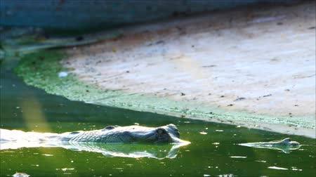 indian squirrel : Crocodiles soak in the water. On the farm Stock Footage