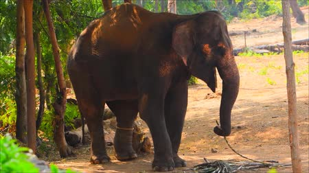 monção : Elephants are eating sugarcane as food
