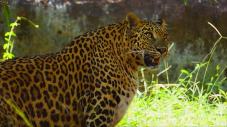 indian squirrel : Leopard prepared to hunt prey Stock Footage