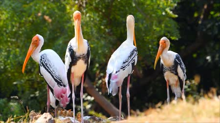 monção : Painted Stork birds with yellow mouth and long legs