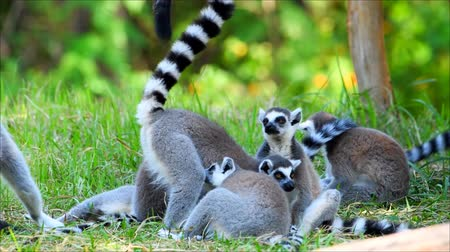 леопард : The lovely Lemur family that is resting