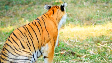 monção : The tiger is on the lawn in the conservation center in india