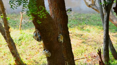 indian squirrel : The tiger stands playing with the trees in Malaysia Stock Footage