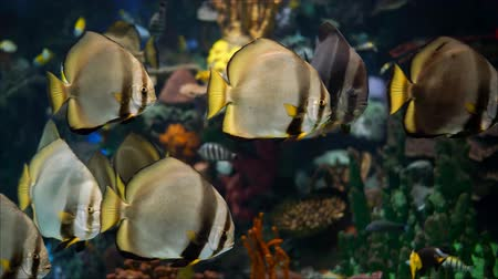 Flocks of circular spadefish in the sea