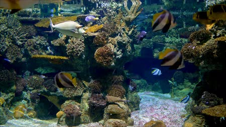 Napoleon and the red sea fish swim in the aquarium and have beautiful coral reefs