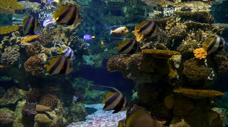 Yellow Tail Surgeon Fish and red sea bannerfish , swimming in the aquarium Vídeos