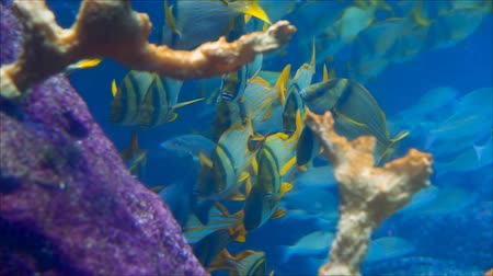 Blue-yellow fish, aquamarine swarms and beautiful coral reefs