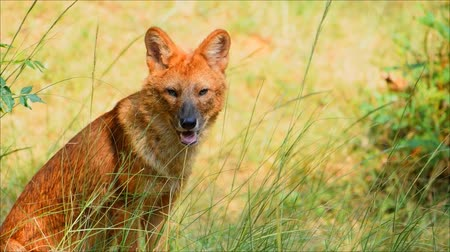 yaban kedisi : asiatic wild dog sitting in the forest