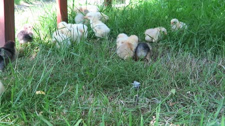 Cute chicken chicks