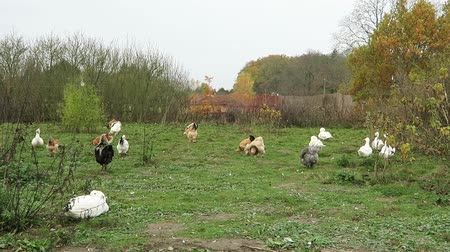 chicken ducks in farm