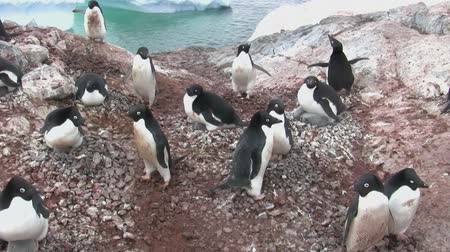 pólos : Adelie penguin colony on an Antarctic island on a summer afternoon