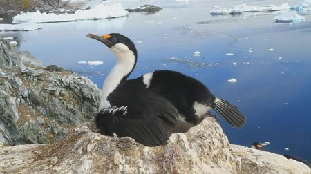 колония : female Antarctic cormorant sitting in a colony Стоковые видеозаписи