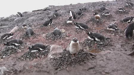 antarktyda : rainbow colony of the penguins on a snowy summer day