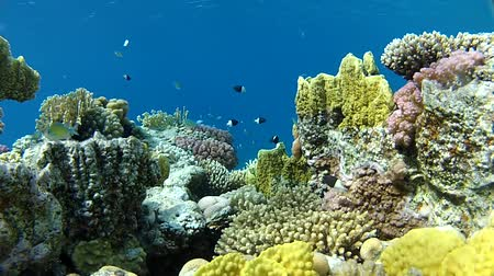 да : coral reef at shallow depths. Filmed from tripod camera. Absolutely clear water, beautiful corals and goldfish.