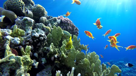 mergulhador : Tropical fish and coral reefs. A warm sea. Diving.
